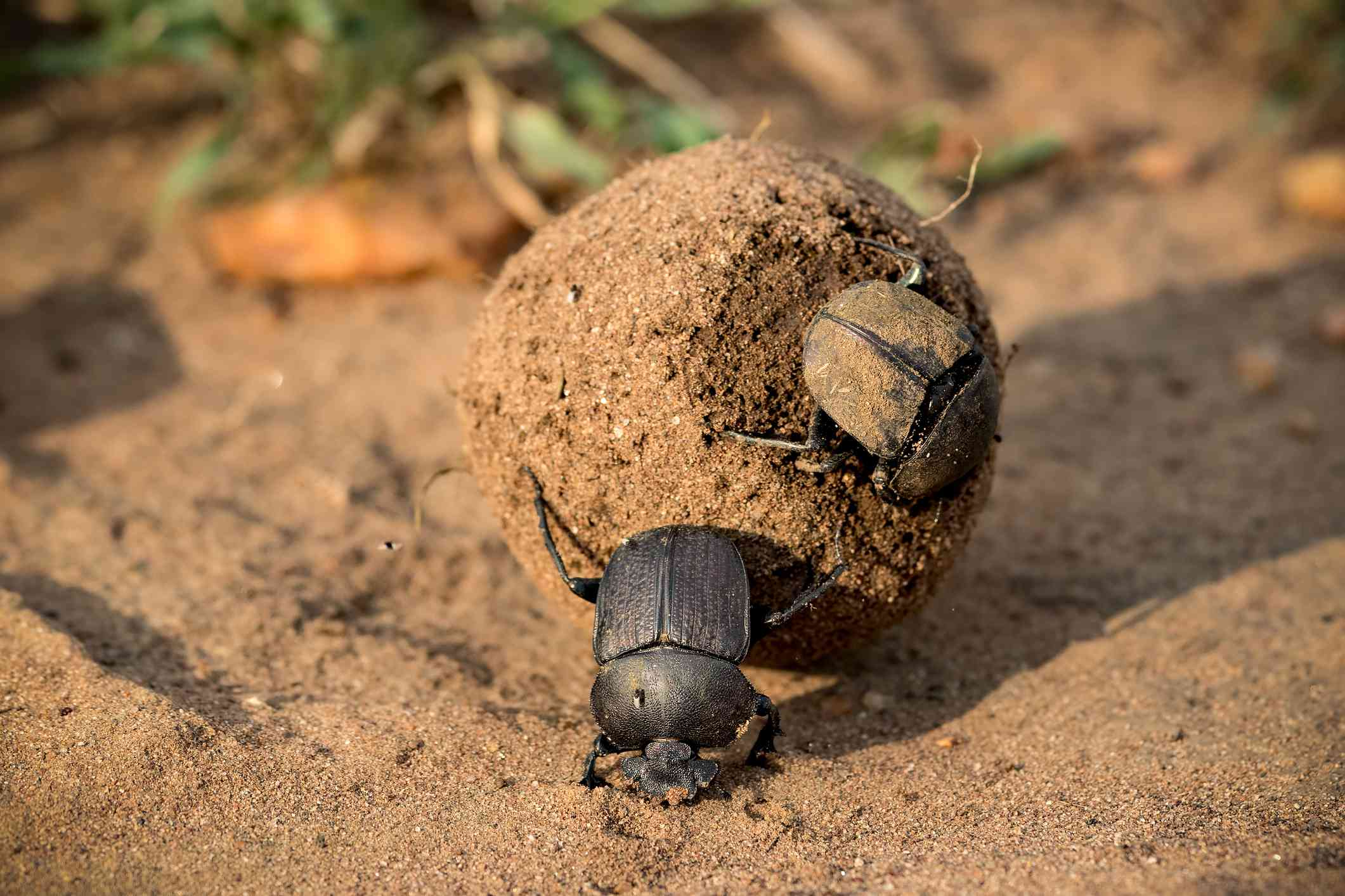 Two African dung beetles with a ball of feces rolled in dirt