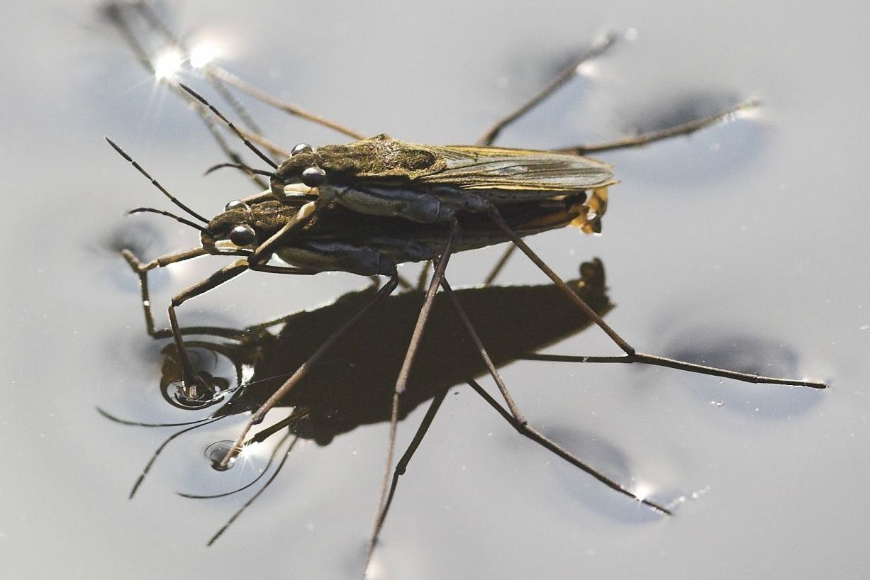 pair of water striders using surface tension during mating