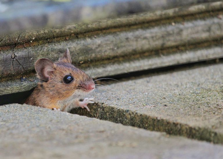 Mouse peeking out of a crack on concrete