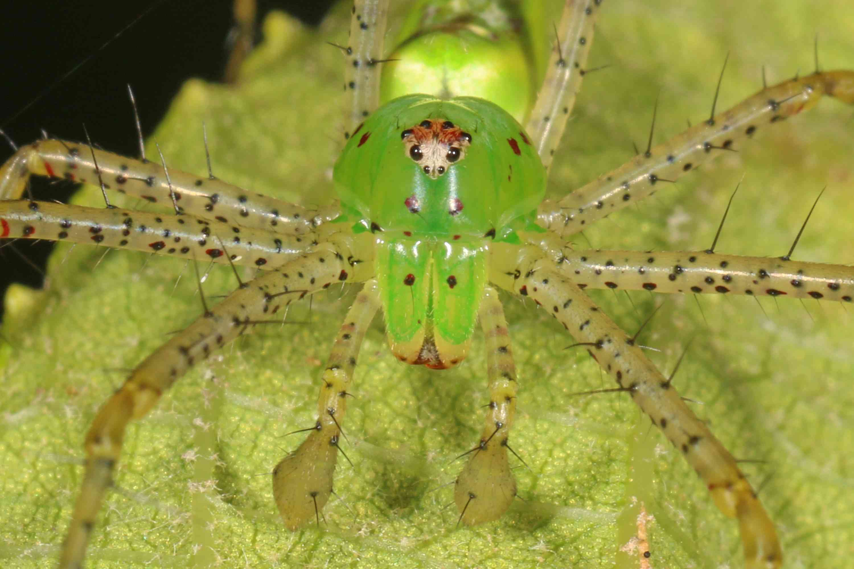 Closeup of green lynx spider in Alabama