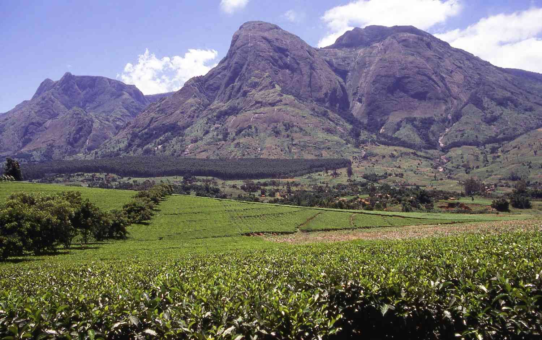 Mulanje Massif rises above the tea fields of Malawi