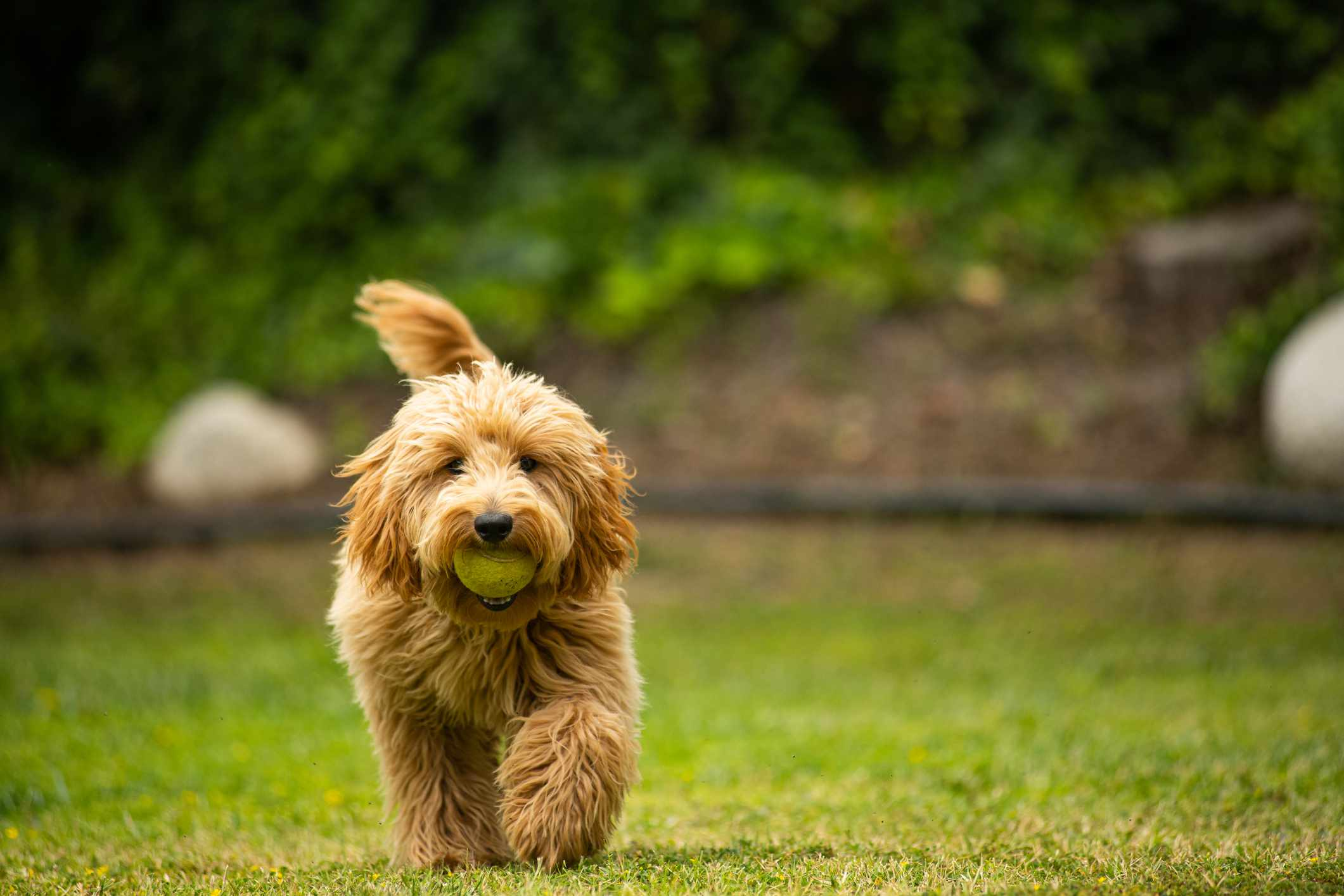 miniature golden doodle puppy with a tennis ball in its mouth