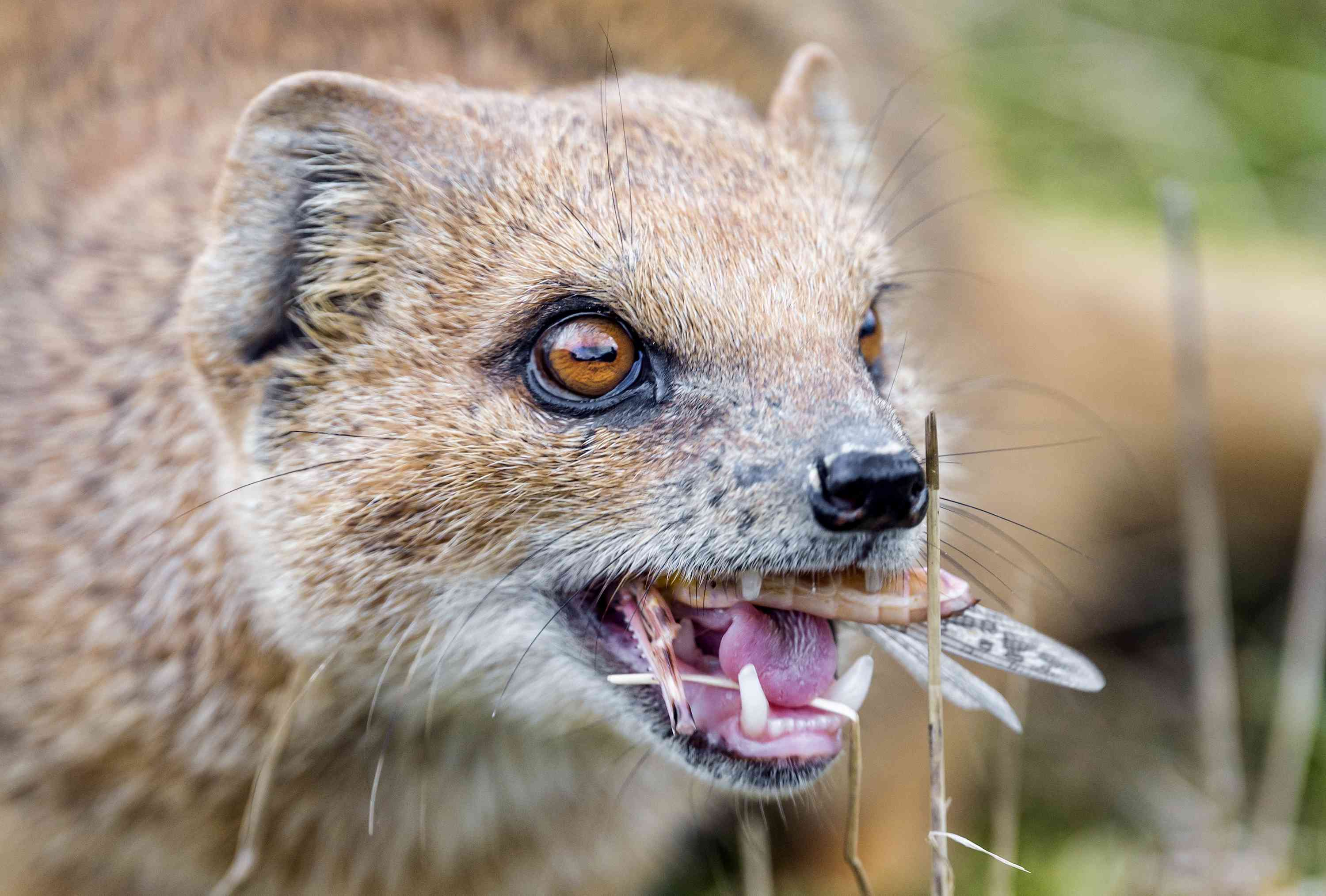 yellow mongoose eating an insect