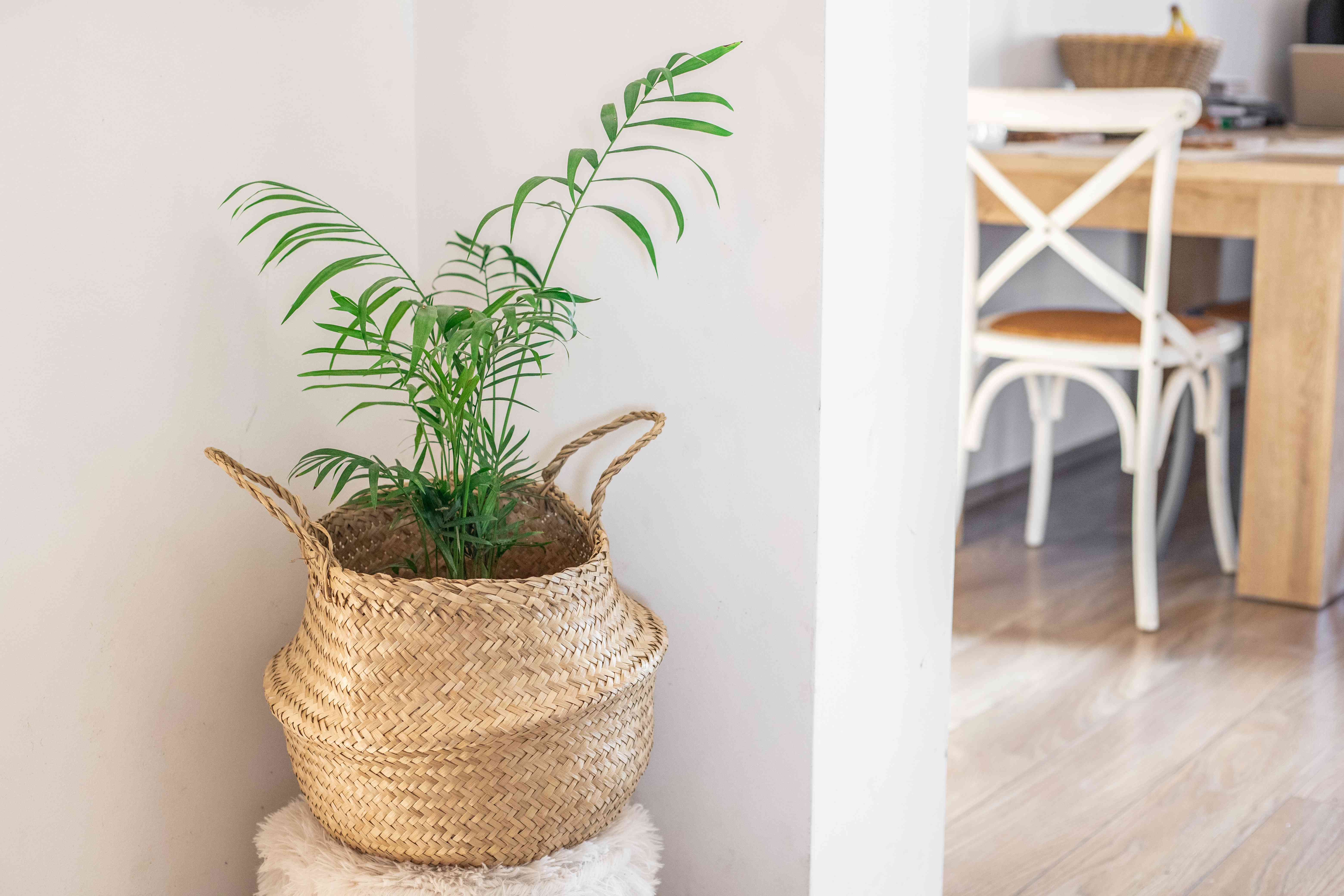 palm houseplant in woven basket in neutral living room