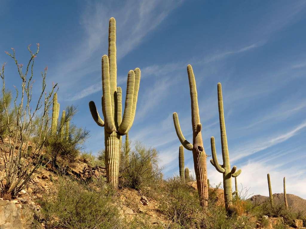 The saguaro is America's largest cactus