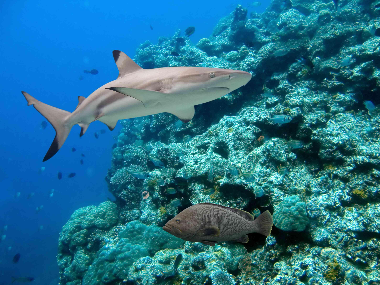 blacktip reef shark in Australia