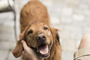 A golden retriever looks up adoringly at its owner.