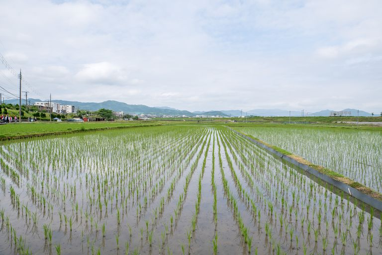 rice fields, rice growing in water
