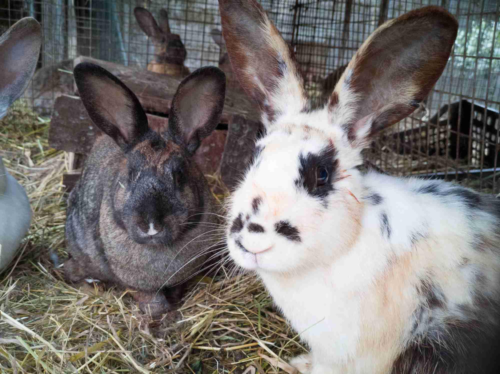 Rabbits on a farm