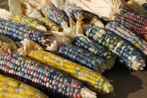 Beautiful blue and red kernels of glass gem corn.