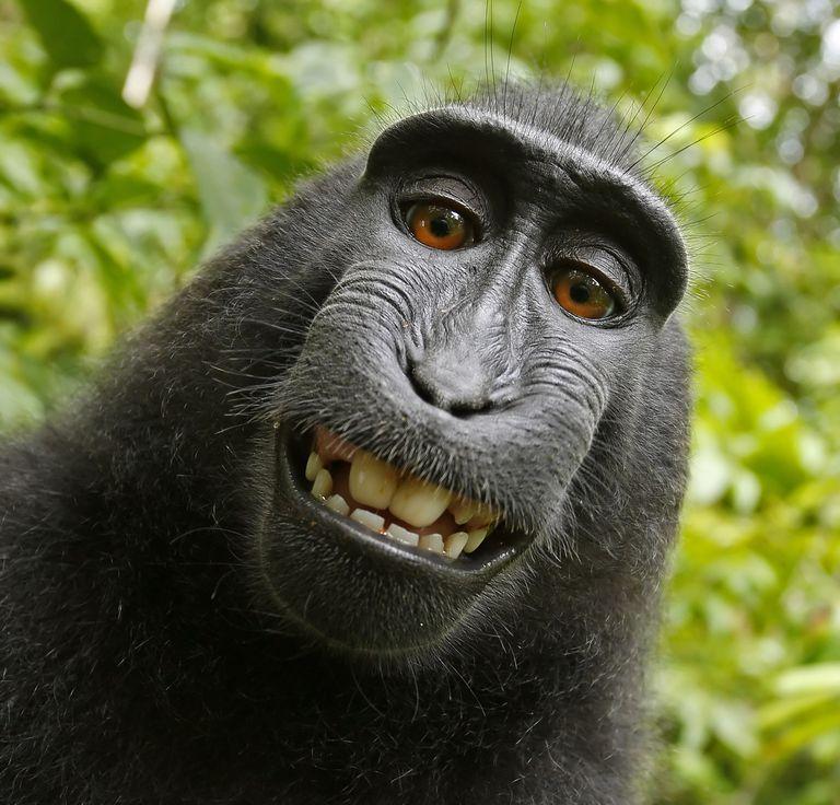 Mono gana demanda por selfies (más o menos)