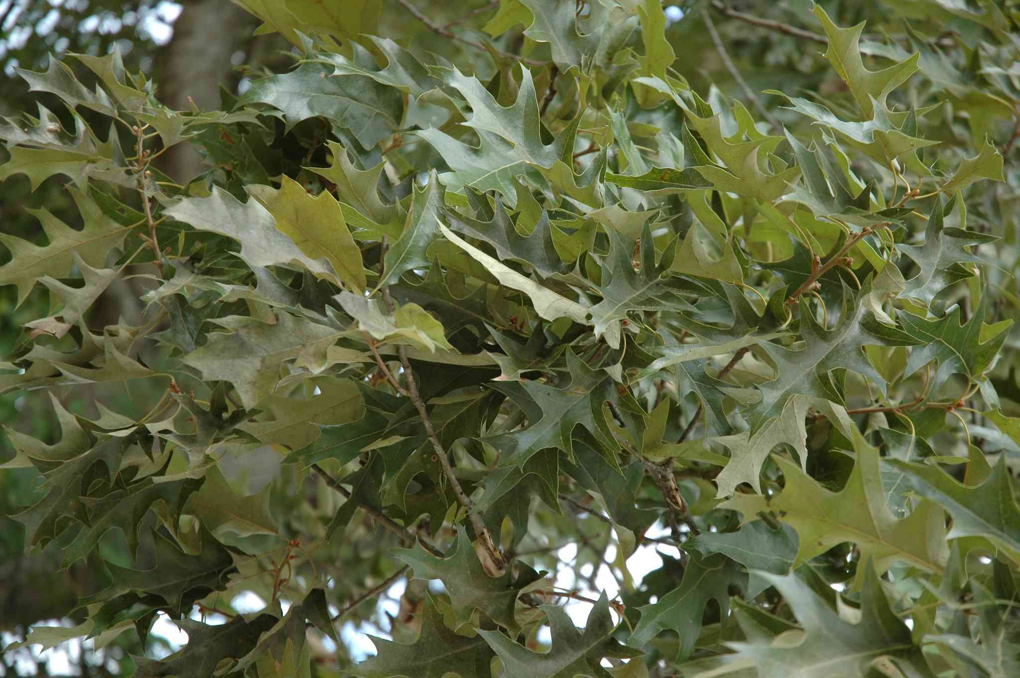 Leaves on a Cherrybark Oak tree.
