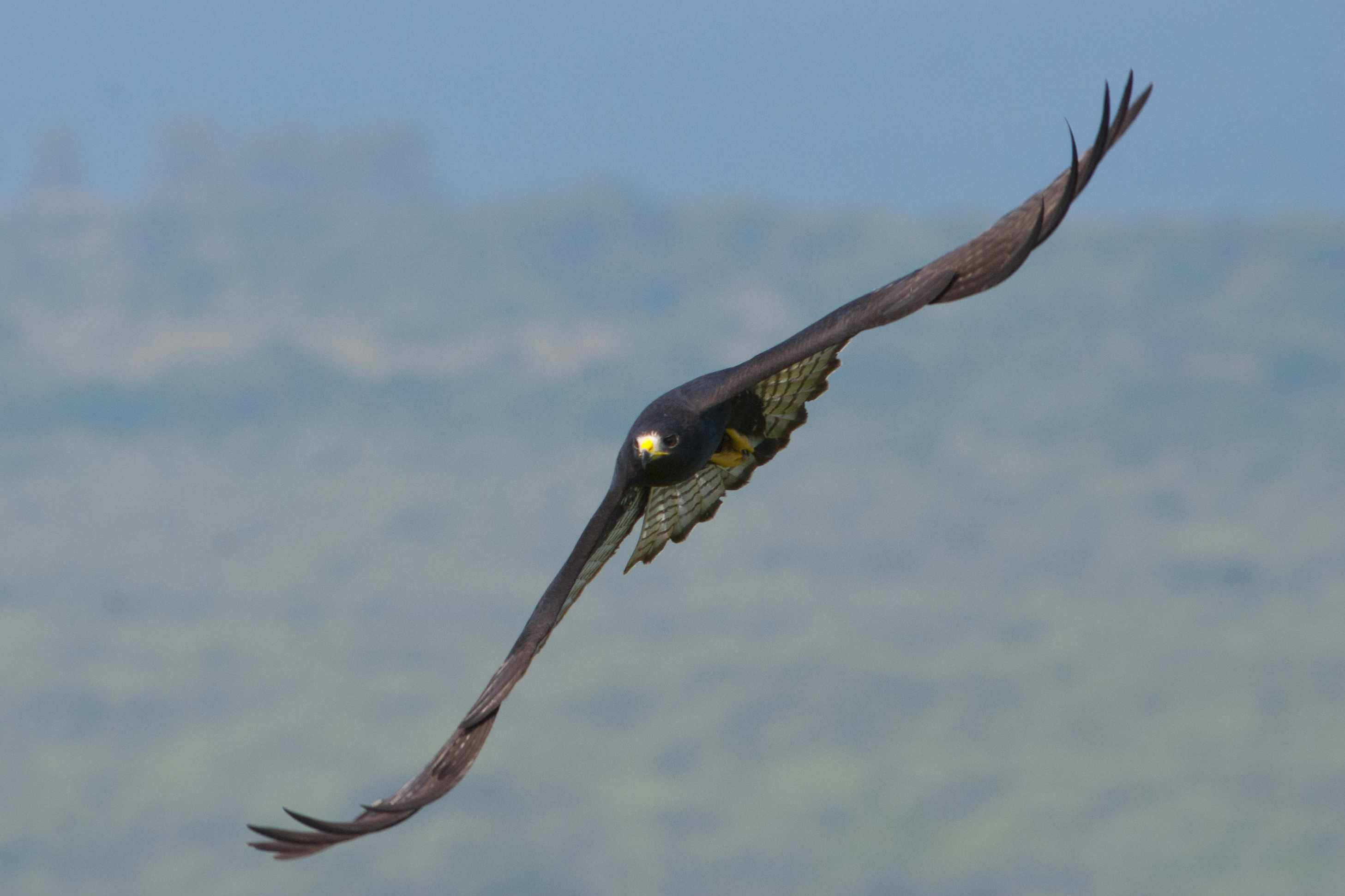 Zone - tailed Hawk, Buteo albonotatus