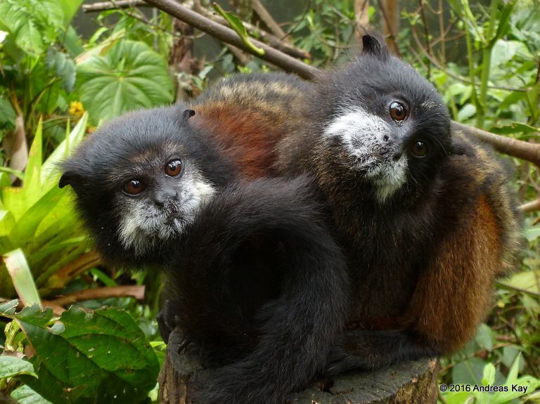 Two tamarins in a tree together