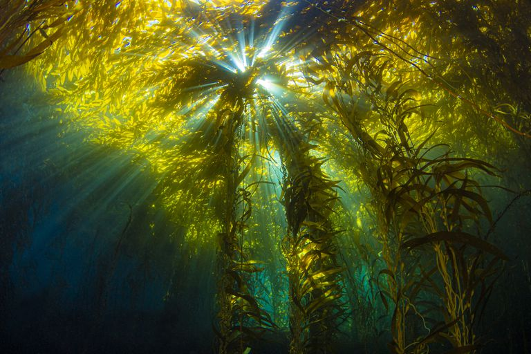 Bursts of sunlight streaming through underwater kelp forest at Anacapa Island in the Channel Islands National Park.