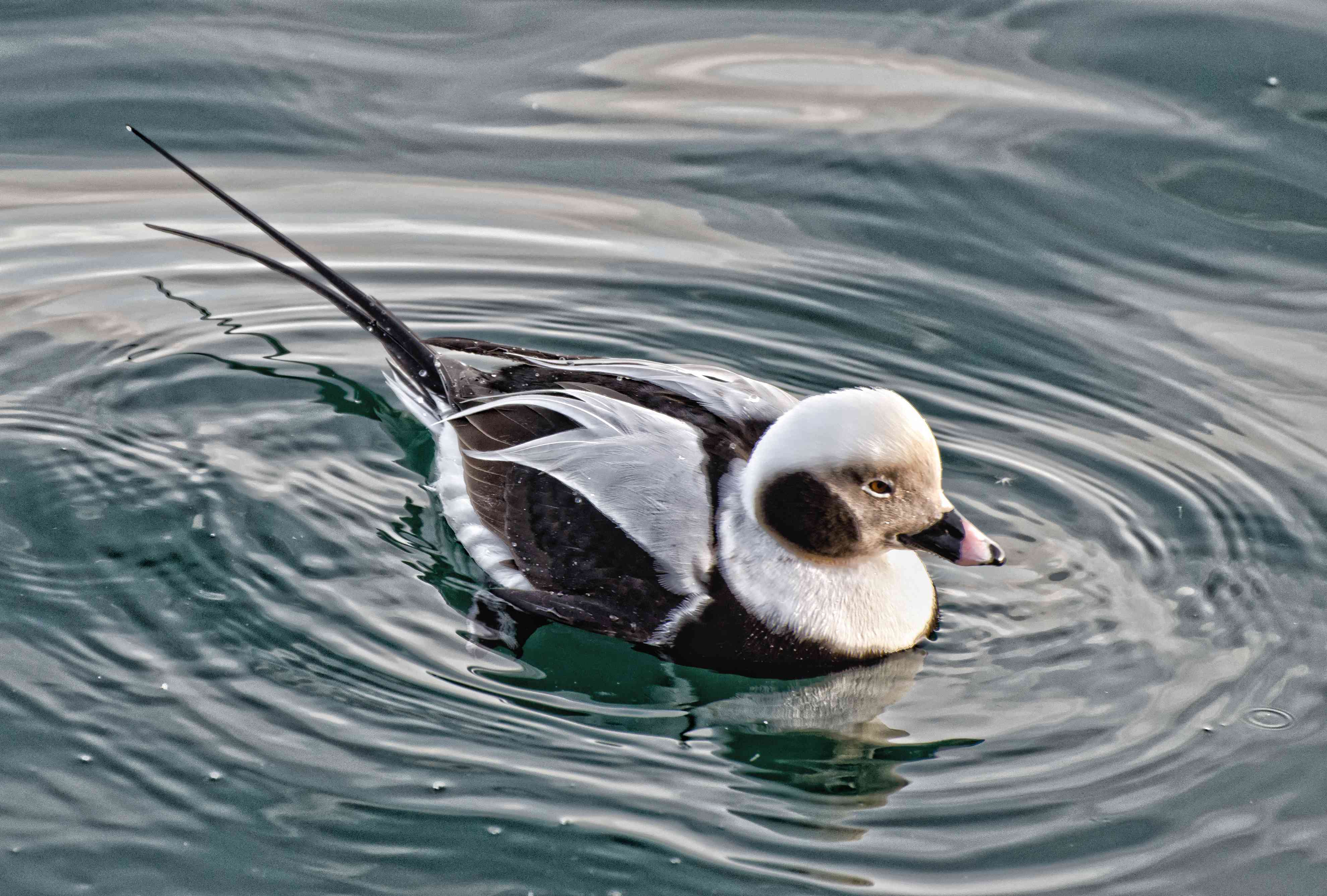 Long-tailed duck sitting in water