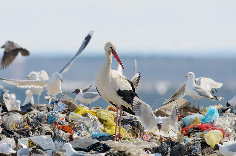 Las cigüeñas cambian los patrones de migración para comer basura
