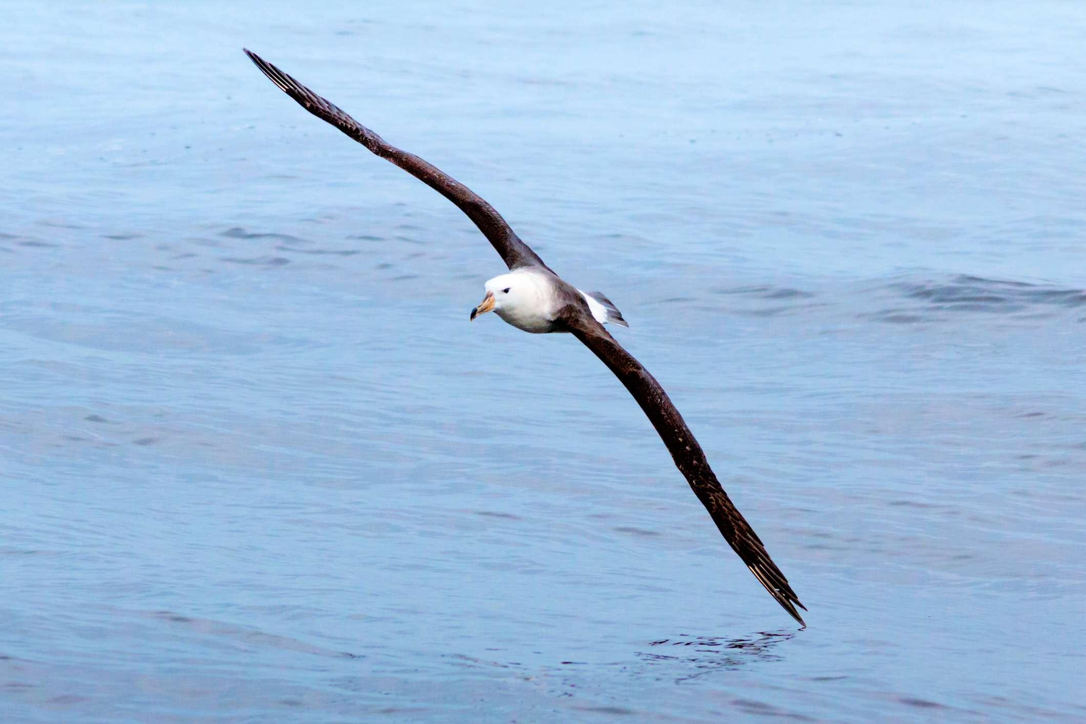 Albatross flying over the ocean