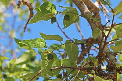 Green leaves and berries on a Hackberry tree.