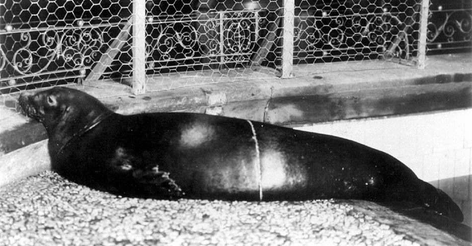 Black and white of Caribbean monk seal in an enclosure in New York, circa 1910