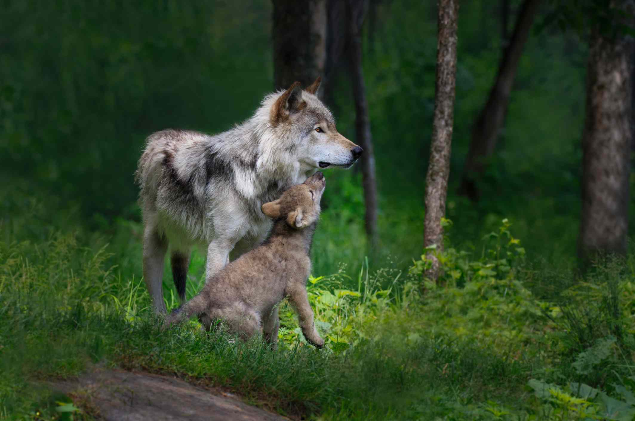Gray wolf mother with her young pup standing in a forest and tall green grasses