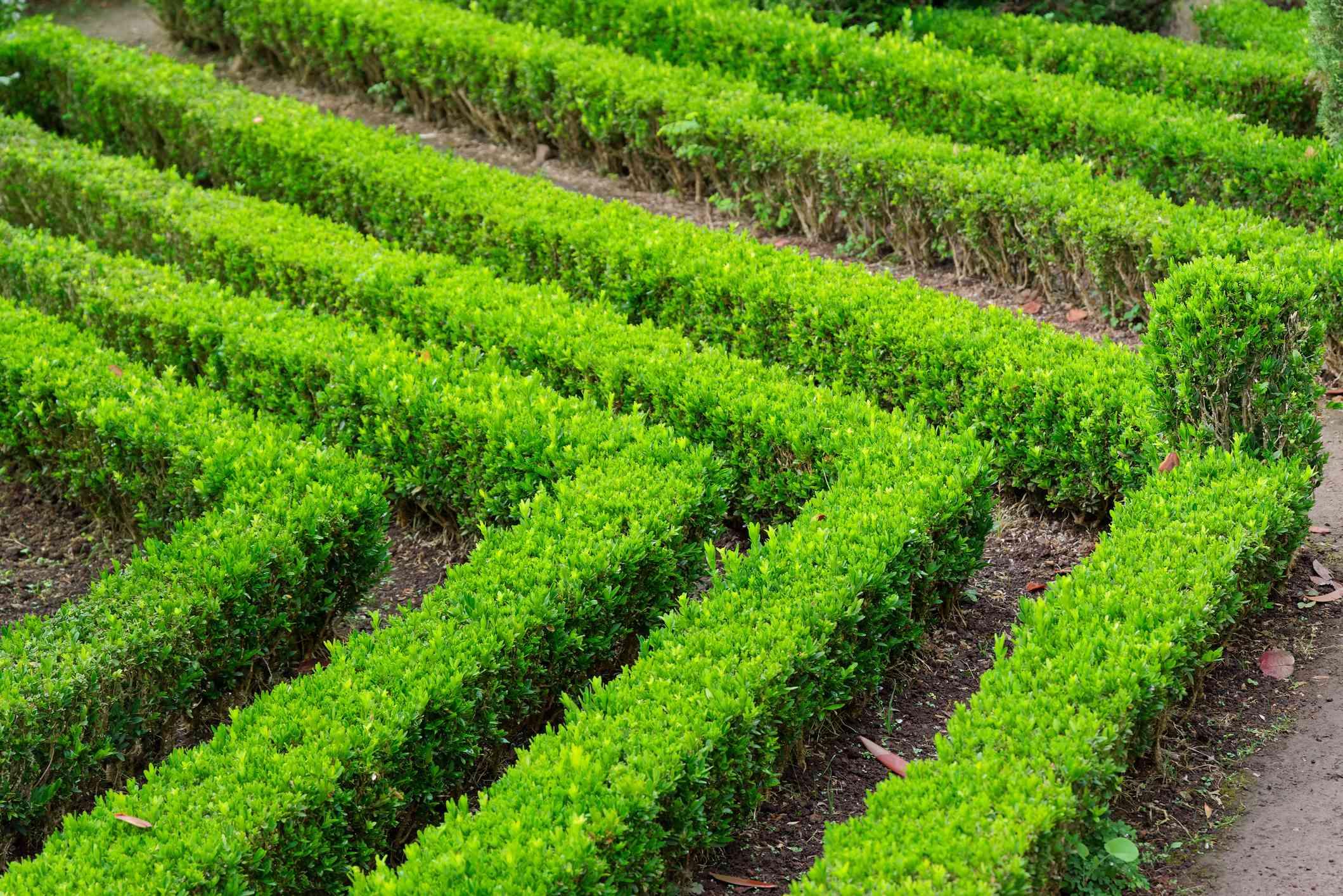 Ornamental rows of manicured boxwood shrubs