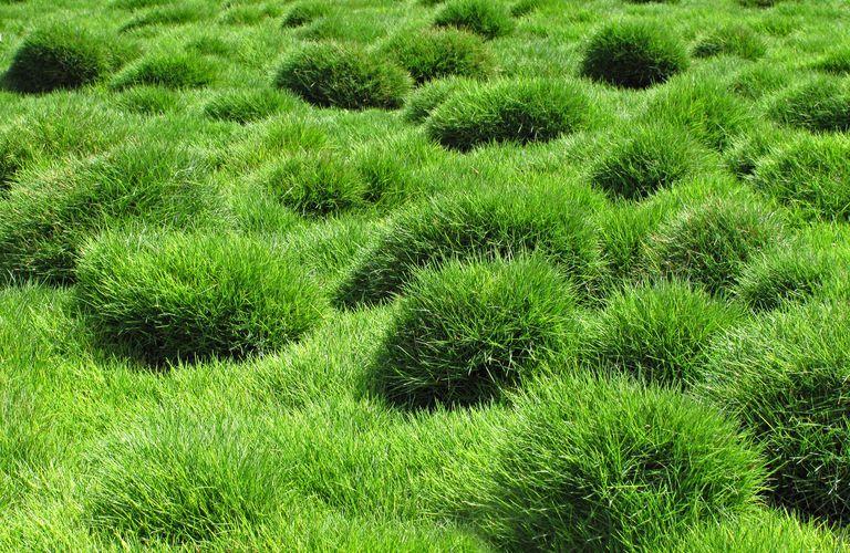 Decorative green grass of Zoysia tenuifolia in the park