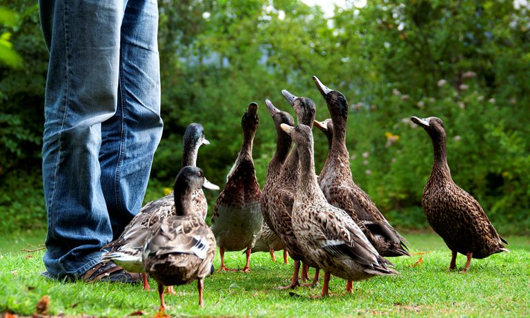 Close up of ducks looking up at a person in blue jeans