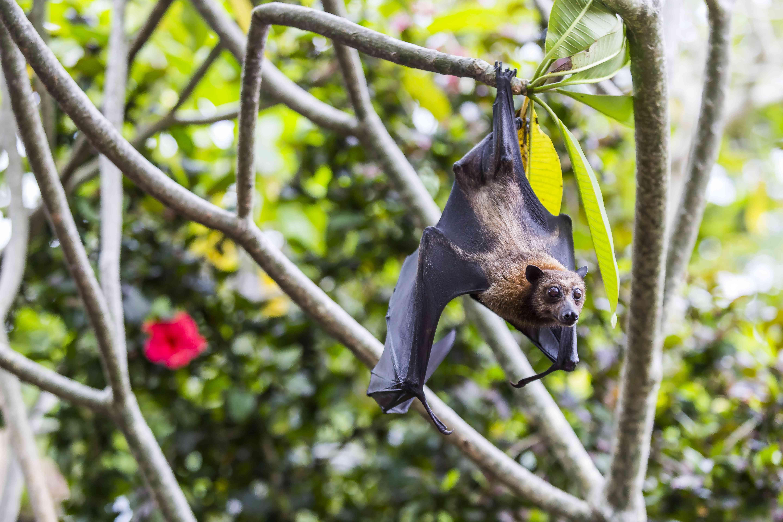 Fruit bat hanging from tree, Bali, Indonesia