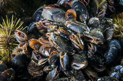 Blue Mussels underwater and filtering water in the St. Lawrence in Canada
