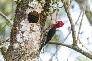 A woodpecker resting on a tree.