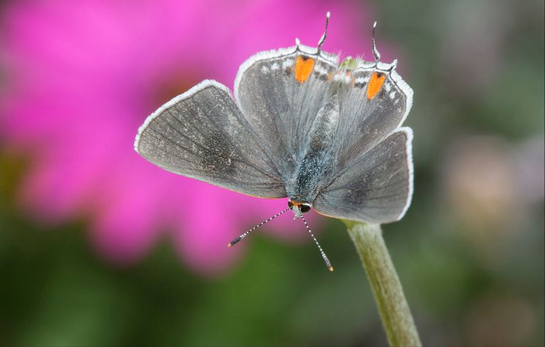 Close up of a butterfly with a bright pink flower in the background