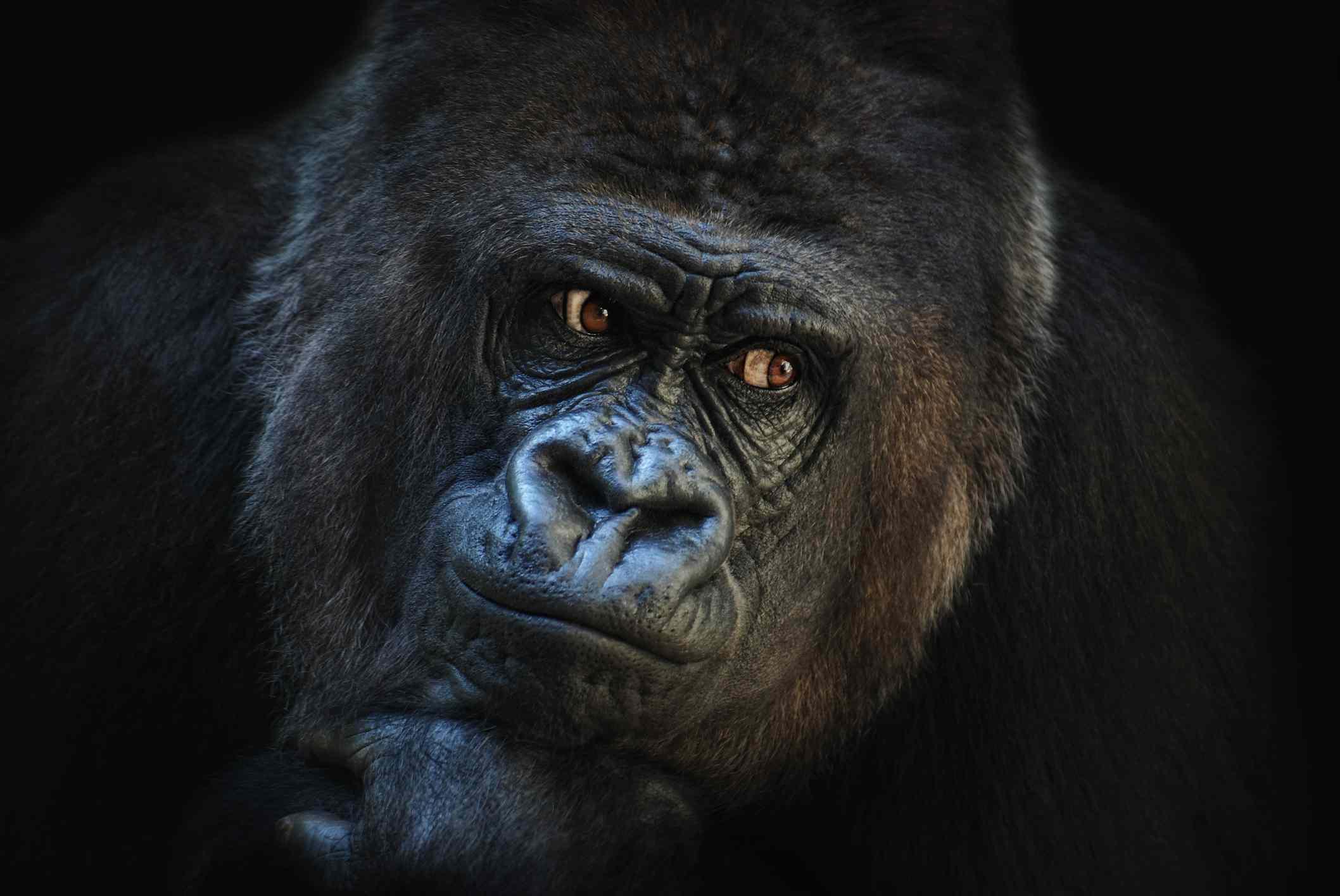 A close up of a gorilla.