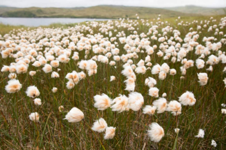 Alaska Cottongrass Tundra