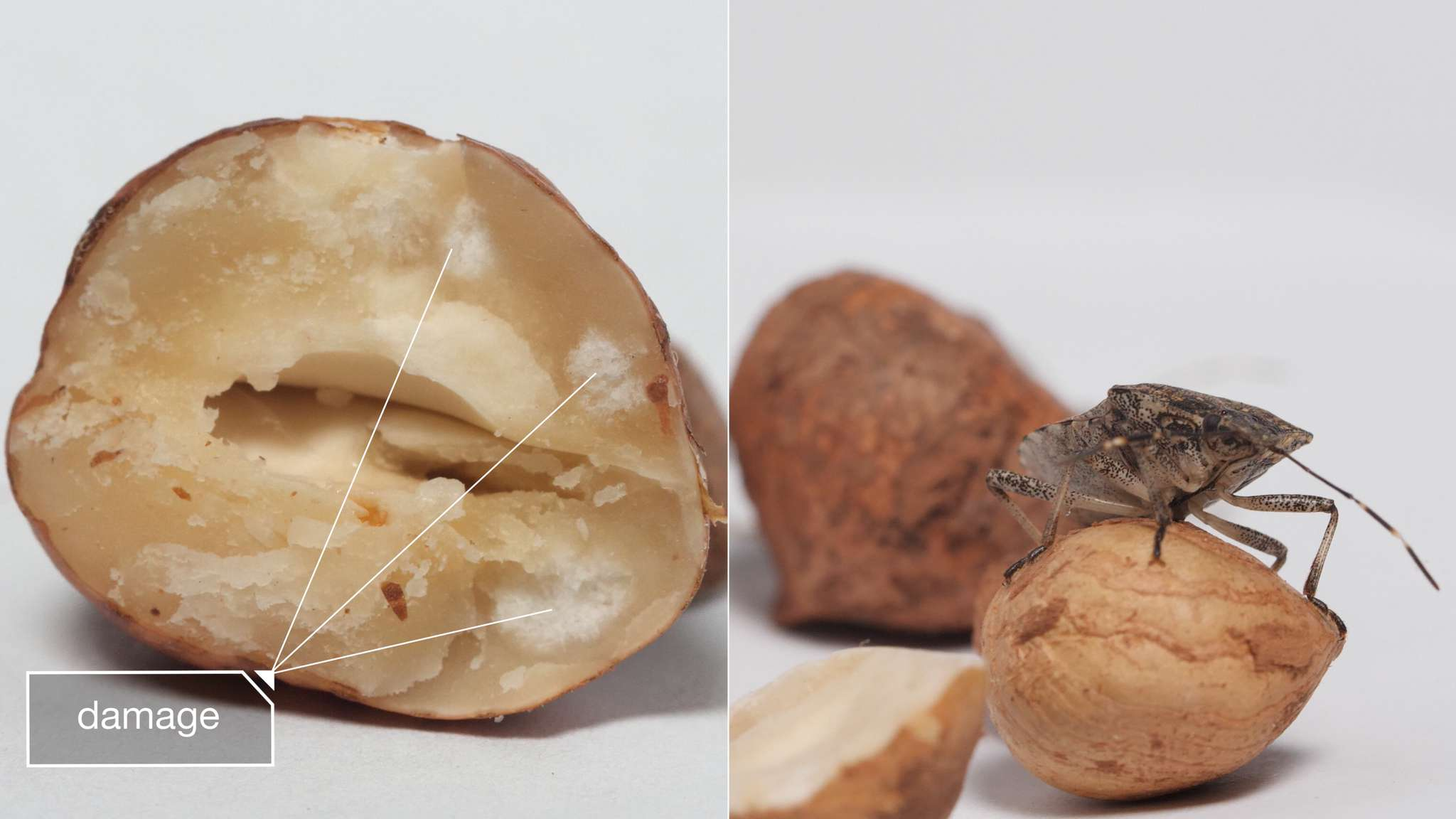 Examples of the damage stink bugs do to food crops.