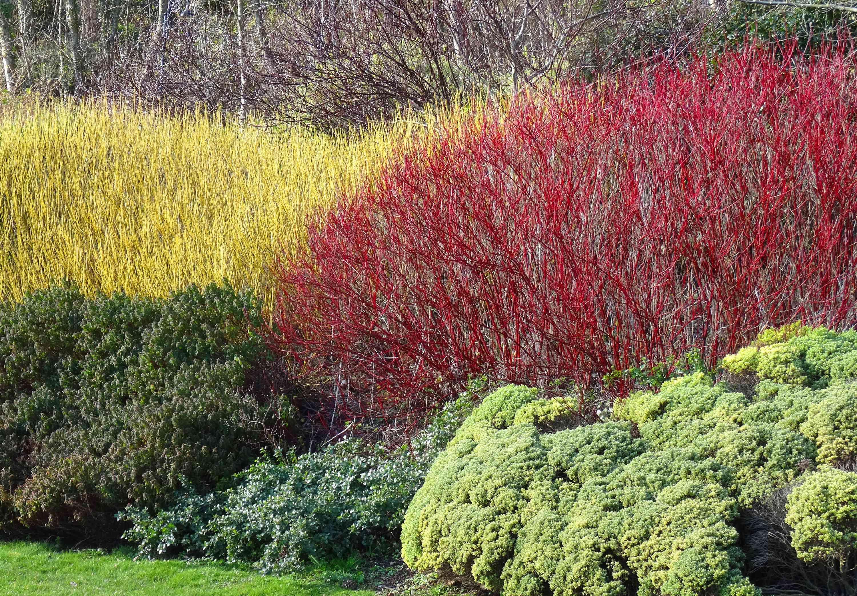 Yellow and red cornus/dogwood stems in winter
