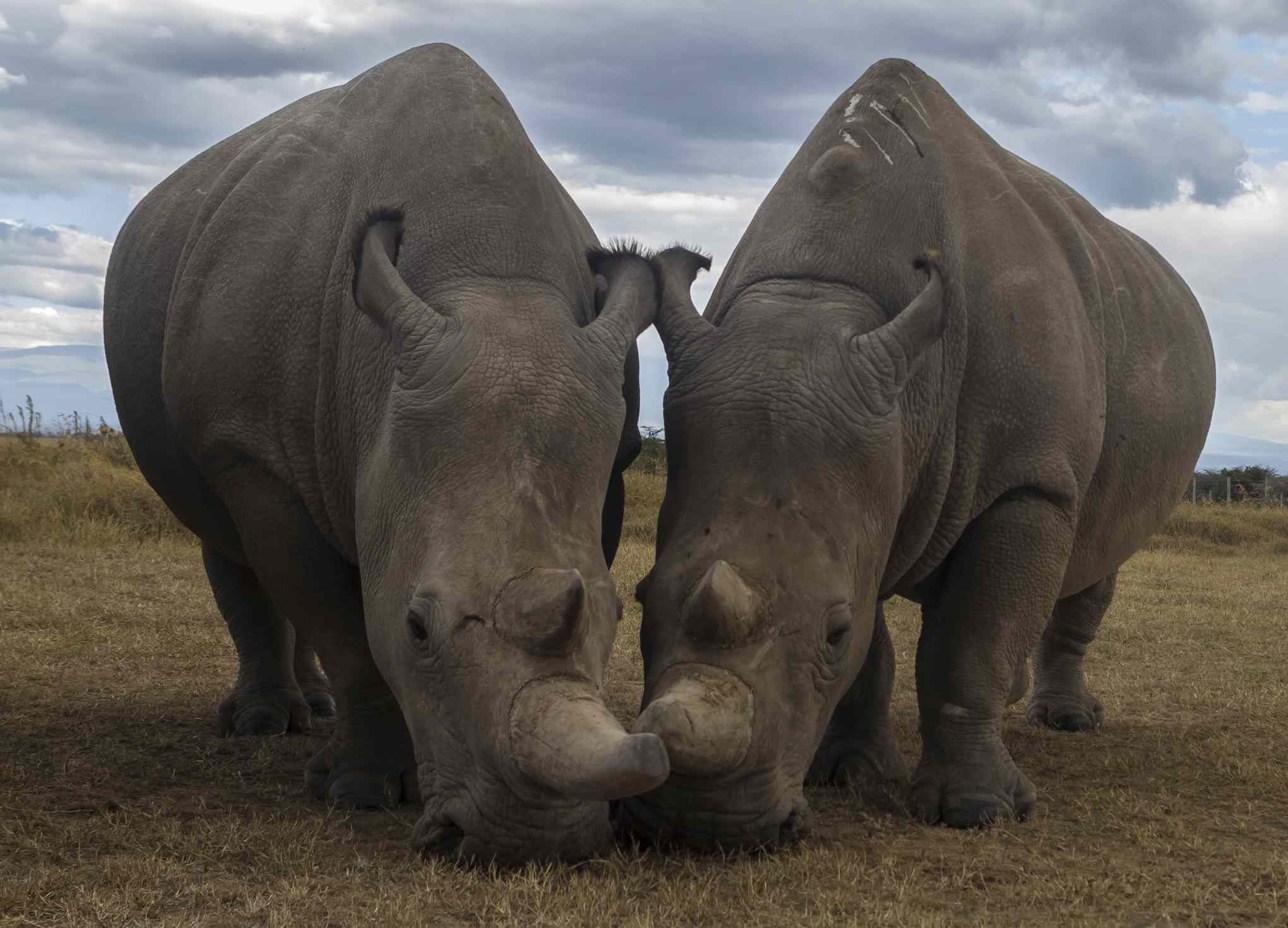 Najin and Fatu, the last two Northern white rhinos in existence