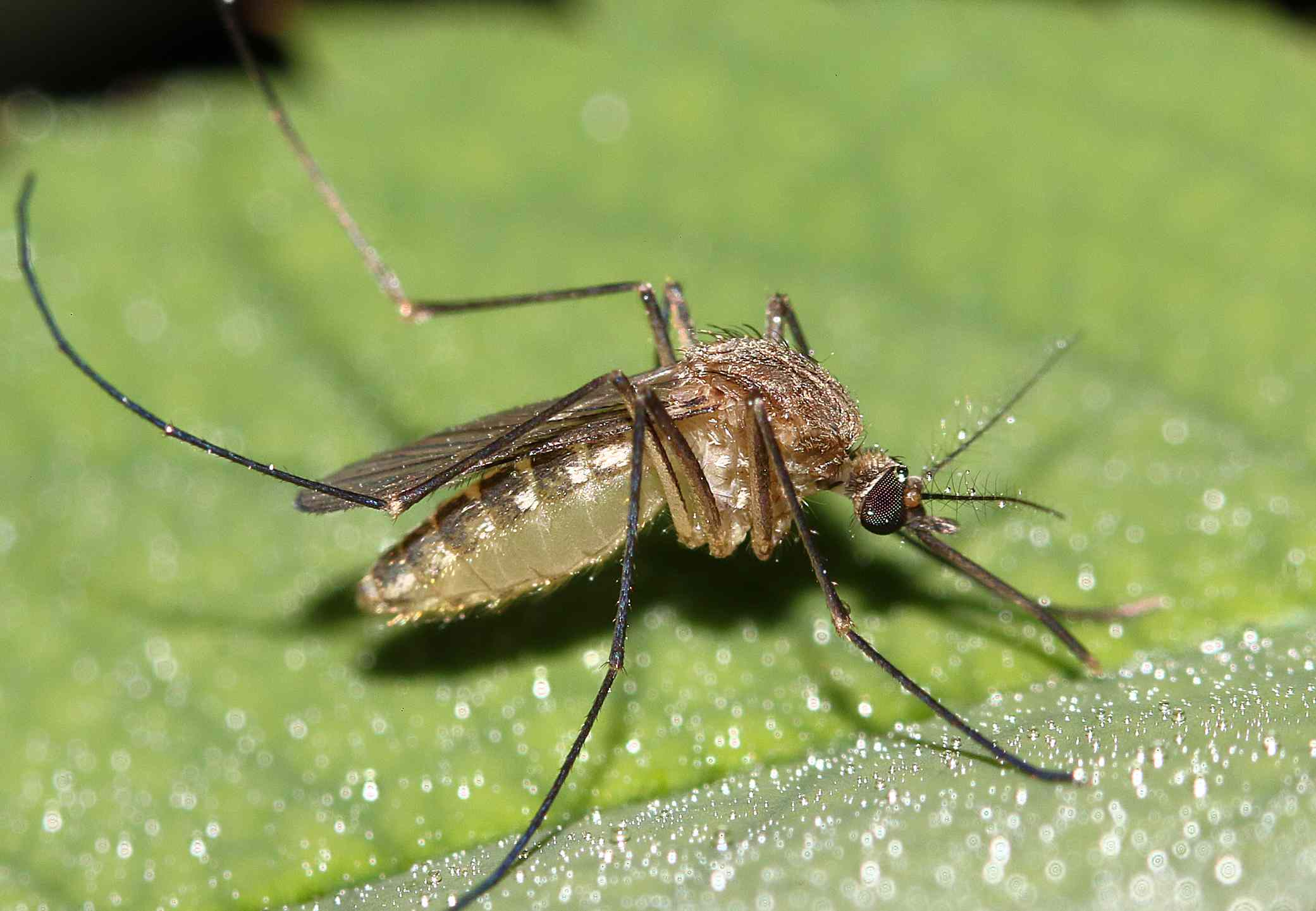 Mosquito Aedes Aegypti on a leaf in Brazil