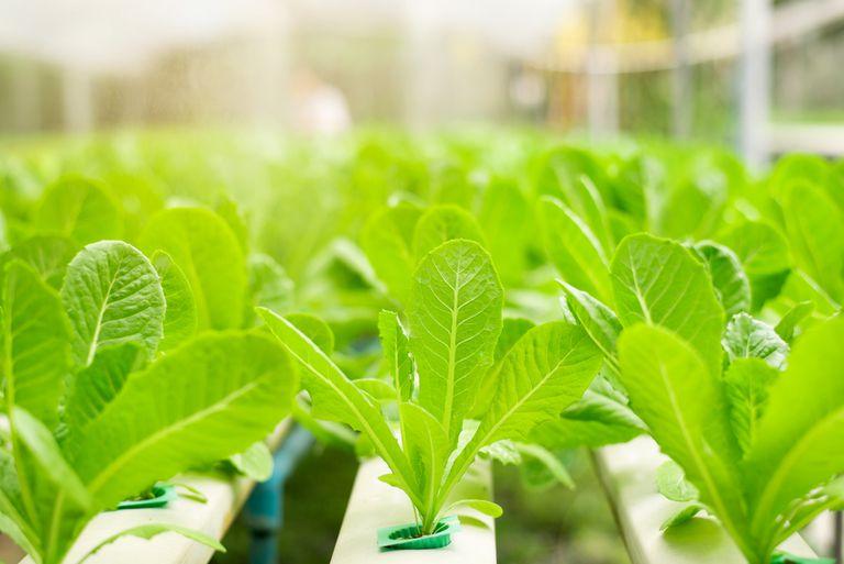 Granjas de Metropolis: Cultivo de verduras hidropónicas en la tierra de Cheesesteak y Cannoli
