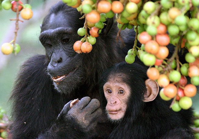 A mother chimp and her infant munch on figs from a Ficus sur tree.