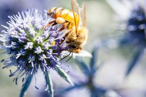 Bee foraging on a blue thistle flower