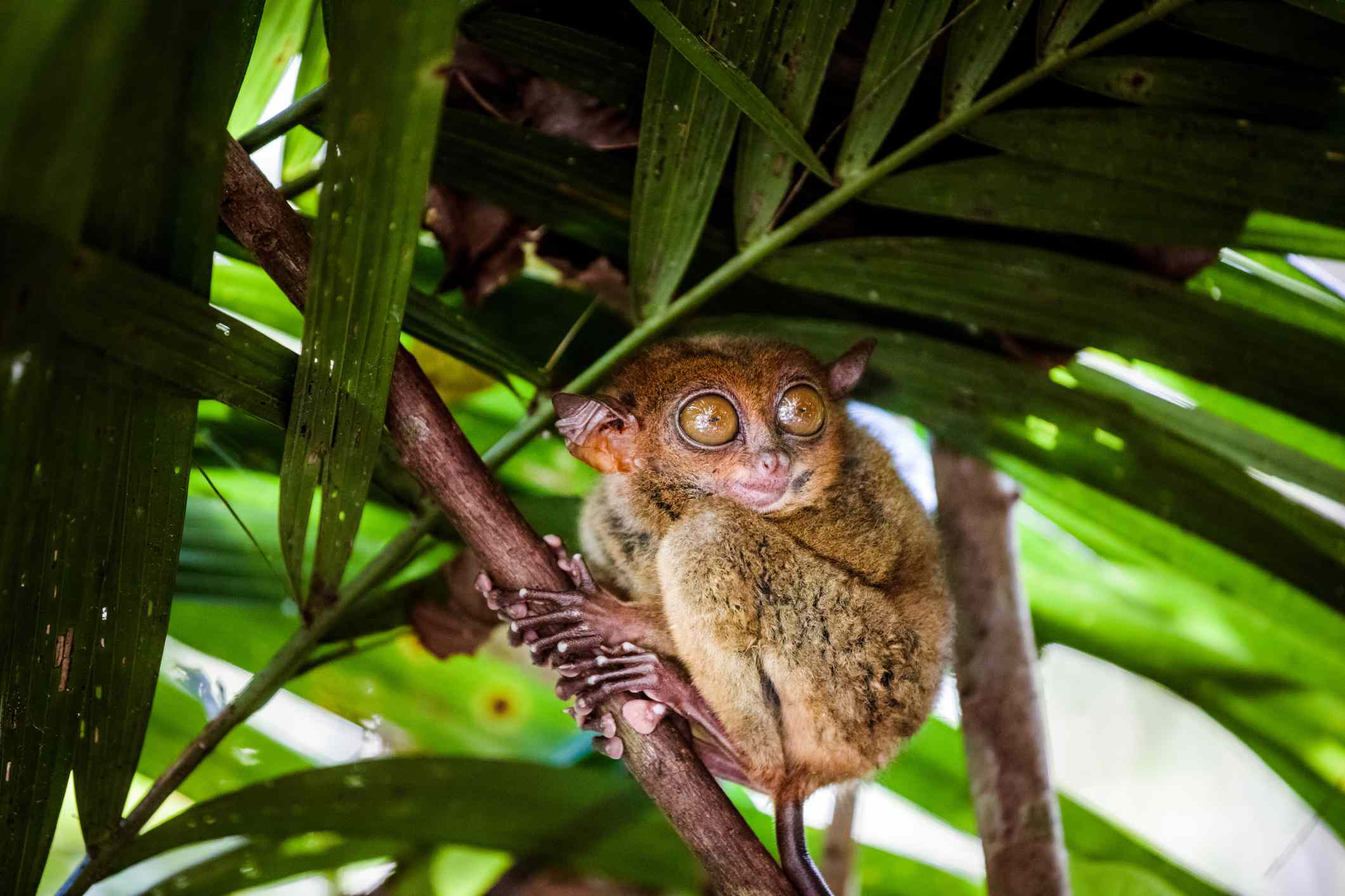 A brown Philippine tarsier with huge amber eyes clutching a palm tree