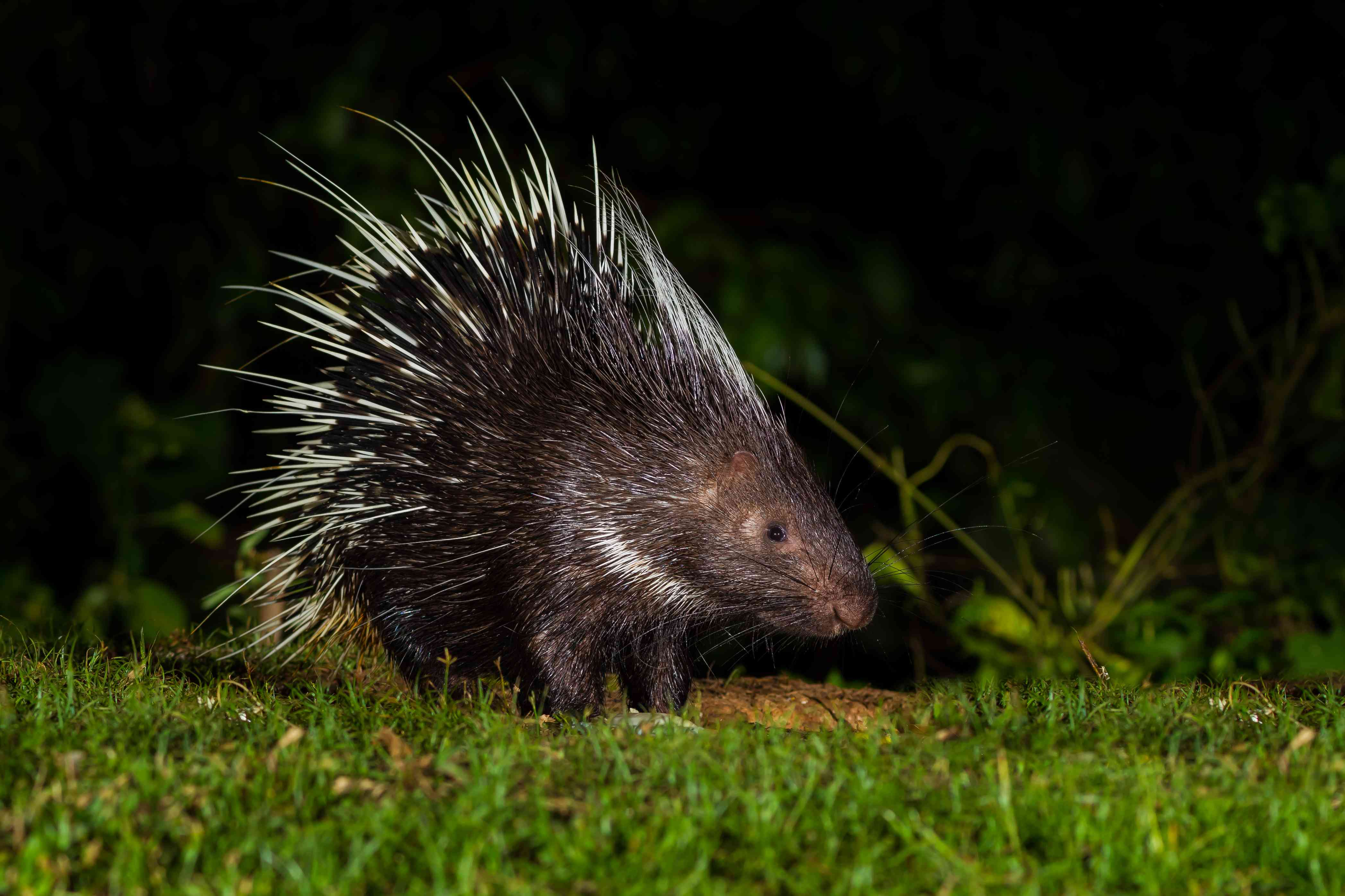 Malayan porcupine at night in Thailand