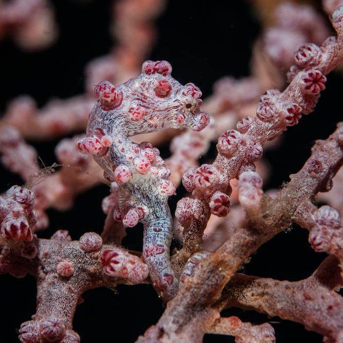 pygmy seahorse on purple coral