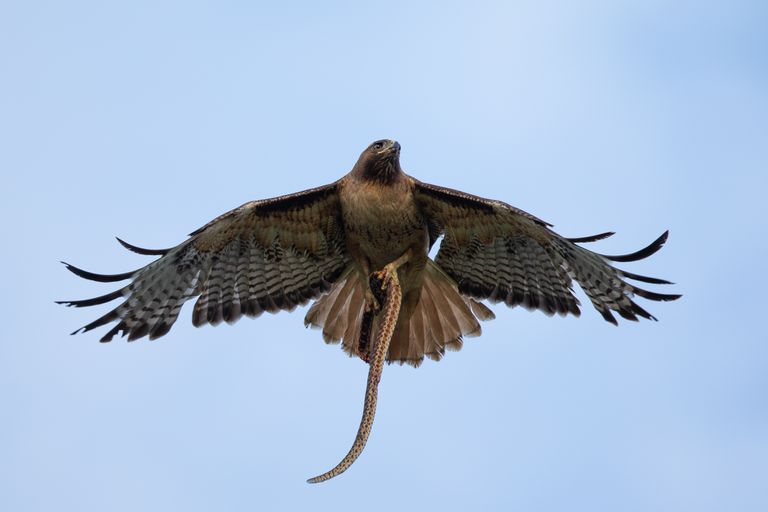 Hawk flying with a snake in its talons