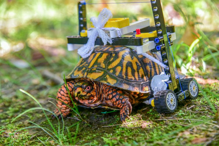 Tortuga herida recibe una silla de ruedas Lego personalizada