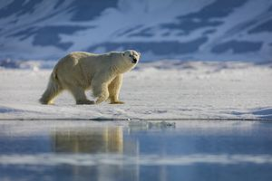 Side view of polar bear walking on snow-covered land