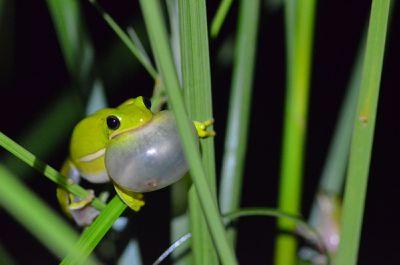 green treefrog calling