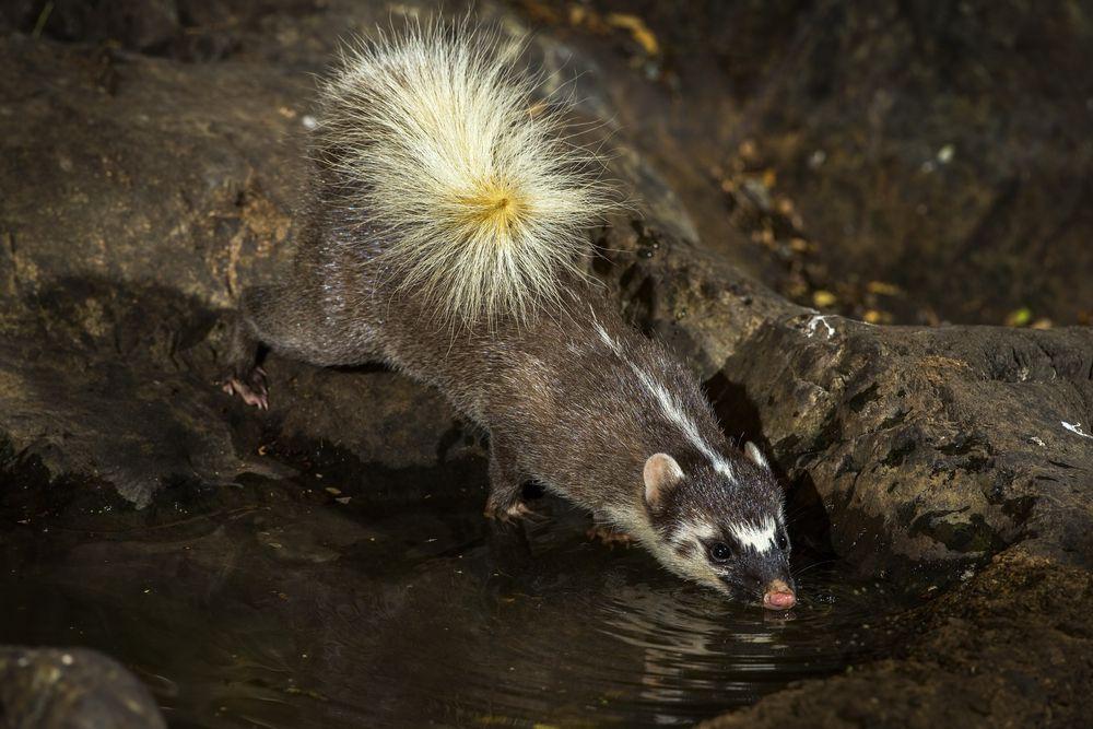 Burmese ferret-badger drinking water