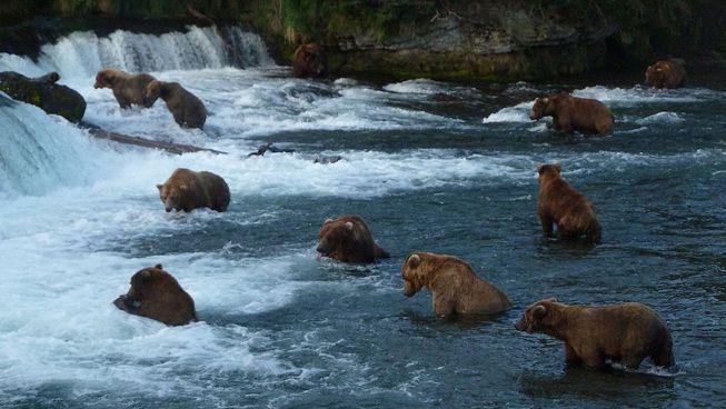 Conoce a los osos en el Parque Nacional Katmai